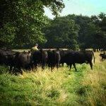 Vleeschenco Black Angus natuurgebied grasgevoerd vlees